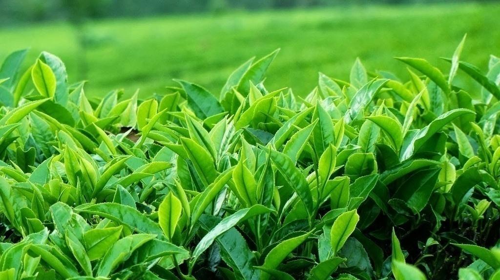Trị ngứa vùng kín bằng trà xanh